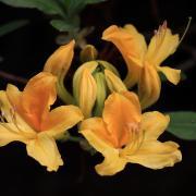 Rododendrony v celej svojej nádhere - návrat do Kúpeľov Štós