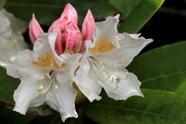 Rododendrony v celej svojej nádhere - návrat do Kúpeľov Štós 5