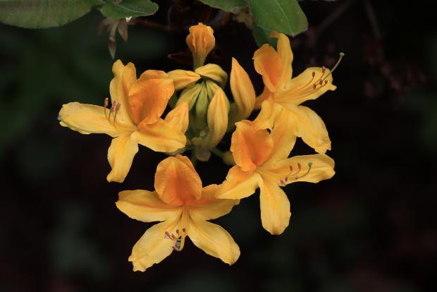 Rododendrony v celej svojej nádhere - návrat do Kúpeľov Štós 6